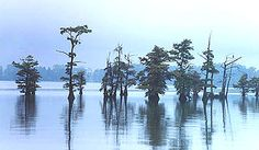 Reelfoot Lake is completely dotted with trees and was created by New Madrid earthquake 1811-1812 Tiptonville, TN. Stunning.