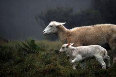 Sheep-Mother-Lamb