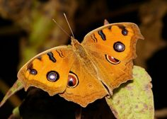 beautiful butterflies Peacock Pansy