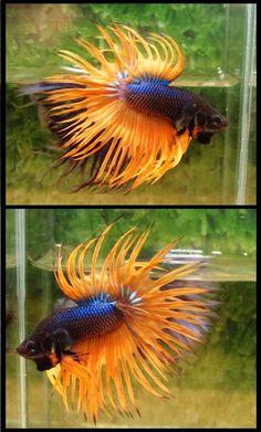fwbettasct1369593604 - BETTA CT MUSTARD GAS / MALE Betta Fish Types, Betta Fish Tank, Beta Fish, Pretty Fish, Beautiful Fish, Colorful Fish, Tropical Fish, Aquariums, Fish Care