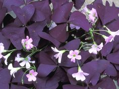 Oxalis: Difficulty level: Easy; Why you want it: Small white flowers complement the purplish leaves on this shamrock-like plant. Water only when the soil is dry to the touch or the plant starts to droop. Oxalis thrive in sunny to partly sunny conditions, according to Home Rehab. (Green is for Wusses: 16 Colorful Indoor Plants to Try)
