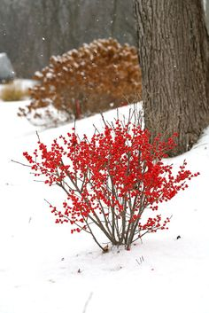 Bring a splash of red in from the garden, even in the middle of winter. Berry Poppins™ winterberry holly is a great native choice for cut branches.