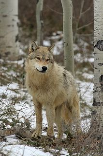 Gray Wolf in Forest | by Peter Eades
