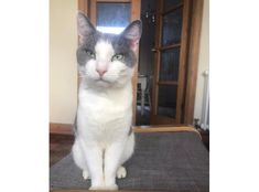 Sam is approximately 3 years old. He is a very loving cat who enjoys affection and, unusally for cats, having his tummy rubbed! White Cats, Go Outside, Dog Cat, Pets, Blue, Animals, Animales, Animaux, Animal Memes