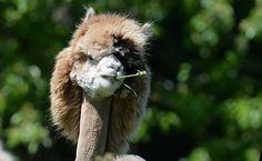Alpacas ganham corte exótico para enfrentar verão europeu. (Foto: Kerstin Joensson/Associated Press)