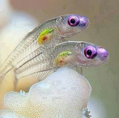 Transparent fish.