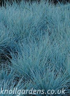 Festuca Intense Blue Knoll Gardens Ornamental Grasses and Flowering… Plant Information, Low Maintenance Plants, Blue Leaves, Ornamental Grasses, Types Of Plants, Plant Care, Horticulture, House Colors, Evergreen