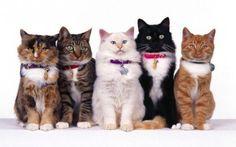 Top 30 Cat Breeds | PetHelpful