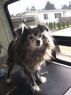 Sammy #Victoria #Dog #Grooming
