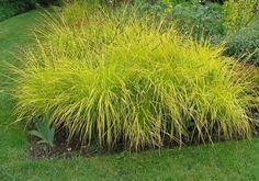 Turzyca sztywna Bowles' Golden Sedge Carex elata
