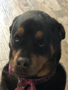 This dog has attitude all over its furry face! Best Dog Photos, Cute Dog Photos, Funny Dog Pictures, Puppy Pictures, German Rottweiler Puppies, Rottweiler Love, Cute Puppies, Dogs And Puppies, Doggies