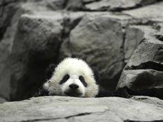 Visit Bao Bao for FREE at the National Zoo in Washington, DC