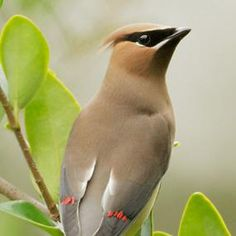 Cedar Waxwings - Sleek and Handsome -- Look for daubs of wax on their silky wings! | BirdNote