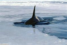 Orca emerged from the hole near the Ukrainian station on the island of Galindas. Antarctica