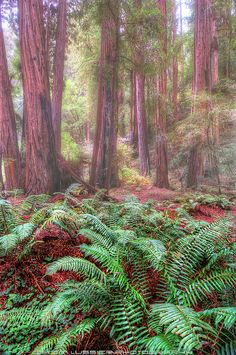 Mists of Time, old growth redwood forest, Muir Woods National Monument, CA
