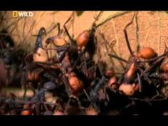 BBCs Planet Ant - Life Inside The Colony 2013. Learn more about ants…