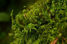 Love this almost ethereal looking moss, beautiful colour. The Mucky Root: Fade from green