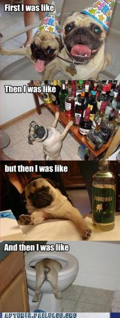 Stages of a Friday night reenacted by pugs. Cute and funny at the same time