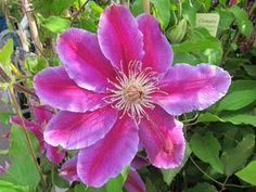 Clematis Doctor Ruppel  At/Co