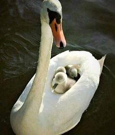 Momma swan is a boat for her baby cygnets, ferrying them around the pond.