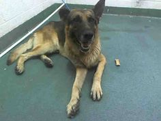 SCOUT (A1641530) I am a male tan and black German Shepherd Dog.  The shelter staff think I am about 6 years old.  I was found as a stray and I may be available for adoption on 09/11/2014.