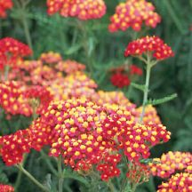"""Yarrow 'Paprika - Height:   15-18""""  Width:   18""""  Exposure:   Sun  Water:   Prefers well-drained soil  Hardiness:   USDA Zones 3-8  Pruning:   No pruning necessary though deadheading will prolong bloom season.    'Paprika' is a vigorous growing Yarrow with red flowers that keep coming all summer long in shades of ruby and salmon rose. This easy-to-grow Yarrow is irresistible to butterflies and drought tolerant once established."""