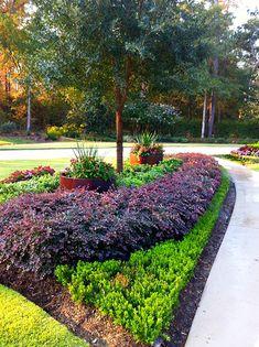 Loropetalum As Hedge Secret Gardens Trees Shrubs