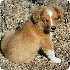 Denver, CO - Australian Shepherd/Corgi Mix. Meet Rita, a puppy for adoption. http://www.adoptapet.com/pet/17064088-denver-colorado-australian-shepherd-mix