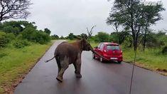 Elephant calf faces off with a car