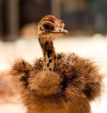 Baby ostriches at Cal Academy!