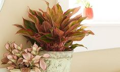 22 Stunning Aglaonema Varieties | Chinese Evergreen Types Indoor Garden, Indoor Plants, Small Plants, Water Plants, Best Bathroom Plants, Chinese Evergreen Plant, Snake Plant Care, Lucky Plant, All About Plants