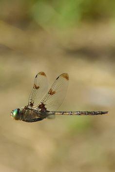 #Dragonfly in flight.