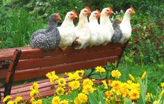 Flere danskere vil have høns i haven