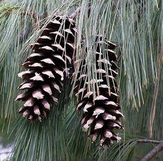 Pinus excelsa, particolare della pigna – gennaio