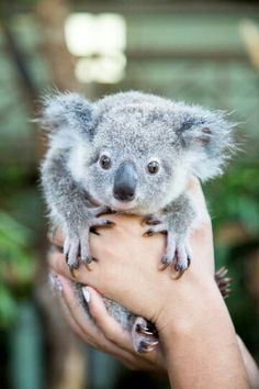 So cute baby Koala Australia Cute Koala Bear, Cute Baby Animals, Animals And Pets, Funny Animals, Wild Animals, Cute Creatures, Beautiful Creatures, Animals Beautiful, Koala Marsupial
