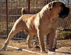 One way to think of the Boerboel is the middle ground between the Bullmastiff and Dogue de Bordeaux. Modern Molosser  | www.modernmolosser.com