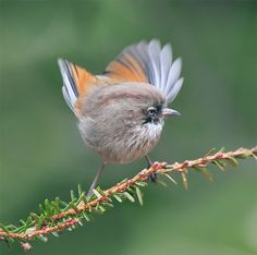 Streak-throated Fulvetta, taken at Xiaofengkou, Hehuan Mountain, Nantou County, TAIWAN--- Fulvetta is a songbird genus. Originally proposed in 1877, it was recently reestablished for the typical fulvettas, which were long included with their presumed relatives in the Timaliidae (Old World babbler) genus Alcippe.[1] But they are actually quite closely related to the typical warblers and therefore a member of the family SYLVIIDAE.
