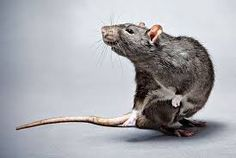 Image result for scary rats