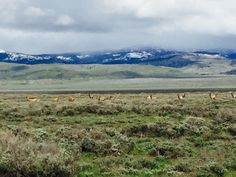 Pronghorns.  Grand Teton National Park