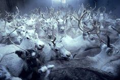 Exhibition: Frost: Life and Culture of the Sámi - Reindeer People of Norway: Frost People Tumblr, Norway Winter, Oh Deer, Anglo Saxon, Fantasy Inspiration, National Museum, First Nations, Photos, Pictures