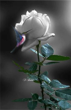 Lovely white rose with a tiny hummingbird Beautiful Flowers Wallpapers, Beautiful Rose Flowers, Amazing Flowers, Rose Pictures, Pretty Pictures, Fotos Do Face, Splash Photography, Rose Art, Black And White Pictures