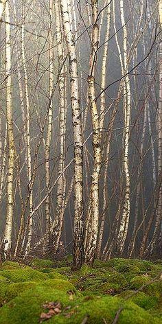 #Birch Grove - #Trees