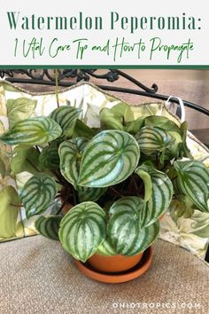 Best Indoor Plants, Cool Plants, Watermelon Plant, Hibiscus Tree, Peperomia Plant, Orchid Roots, House Plant Care, Foliage Plants, Plant Growth