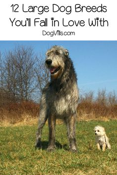 In the world of large dog breeds, there's big, then there's BIG! Check out these gentle giants that you'll fall in love with! Dog breeds of all kinds. Different characteristics of different breeds. Funny Dog Toys, Best Dog Toys, Funny Cats And Dogs, Big Dogs, Large Dogs, Best Large Dog Breeds, Big Dog Breeds, Dog Breeds List, Small Breed