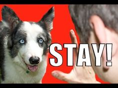 How to Train Your Dog to NOT RUN AWAY!  How to Teach your Dog to STAY while DISTRACTED - http://www.doggietalent.com/2014/11/how-to-train-your-dog-to-not-run-away-how-to-teach-your-dog-to-stay-while-distracted/