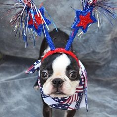 How this Boston Terrier Celebrated Fourth of July 2014! ► http://www.bterrier.com/?p=24627 - https://www.facebook.com/bterrierdogs