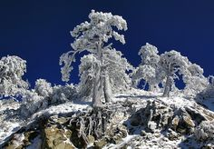 Frozen Trees - Wrightwood, CA by Dave Toussaint (flickr)