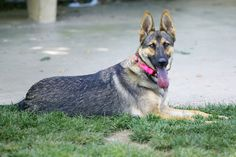 #Dog #training means a disciplined dog who is even-tempered, well-behaved and a great #companion. Also, he will be happier to know that you are pleased with his #behavior.