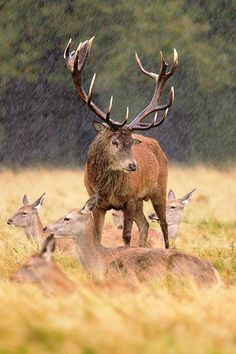Red Deer In The Rain by ~nitsch
