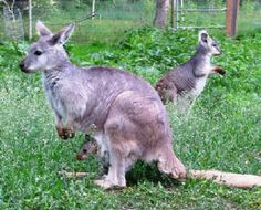 Kangroo Creek Farm in Lake Country, BC. - I got to hold a baby 'roo! They have capybaras and Sugar Gliders as well! Baby Joey, Fun Activities To Do, Best Salon, Animal Antics, Sugar Gliders, Kangaroos, Places Of Interest, Mirror Mirror, Children's Place